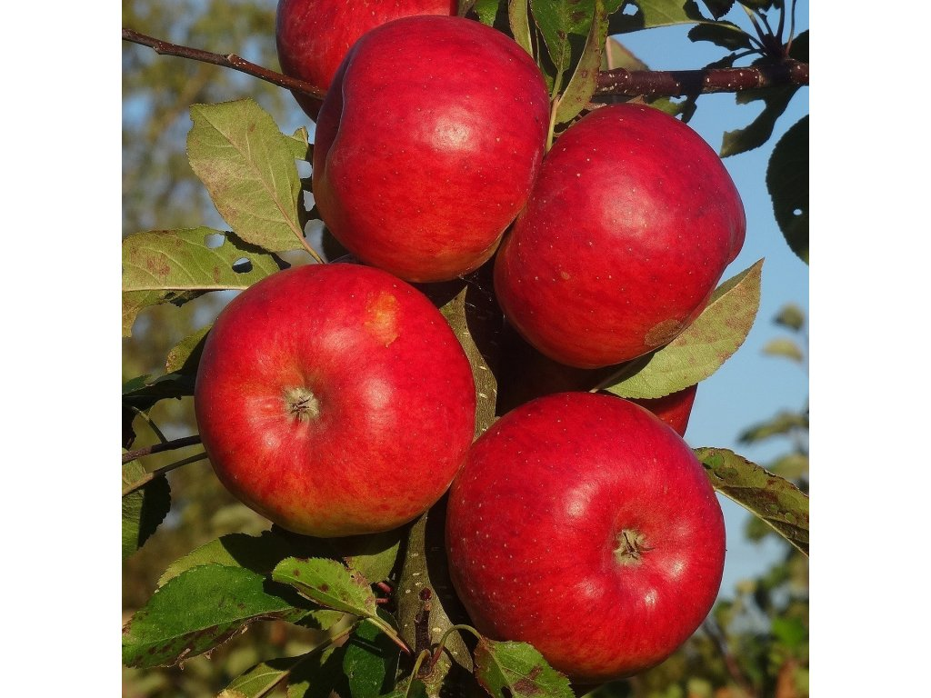 RED TOPAZ zimní jabloň 2