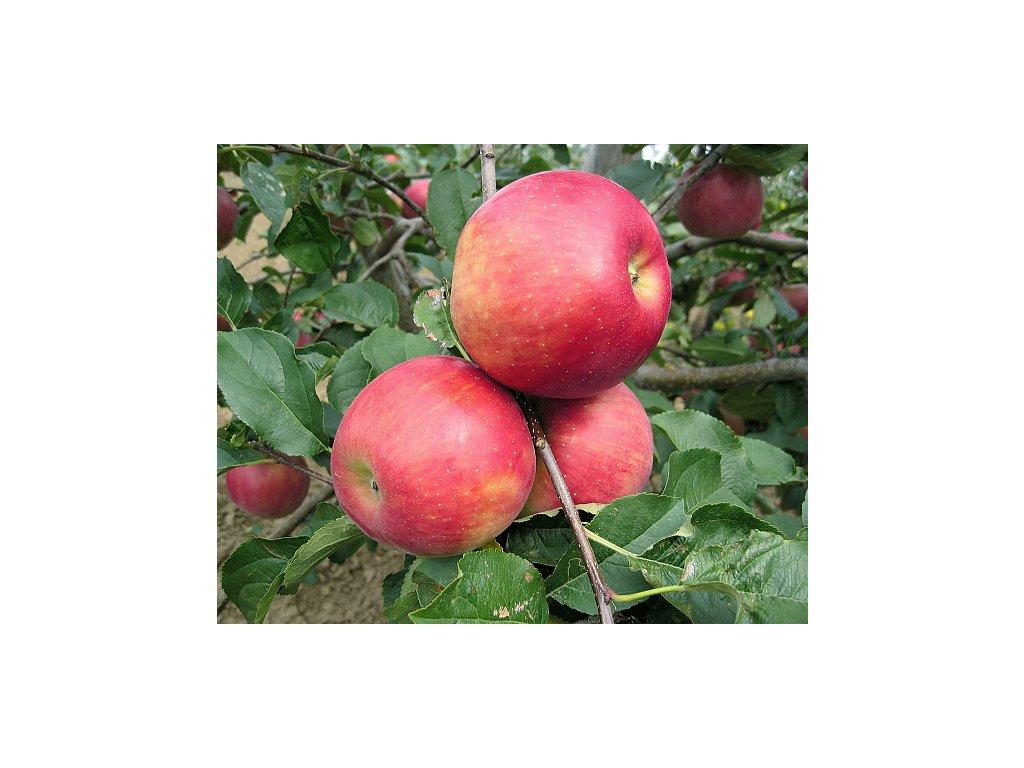 ROZELA zimní jabloň