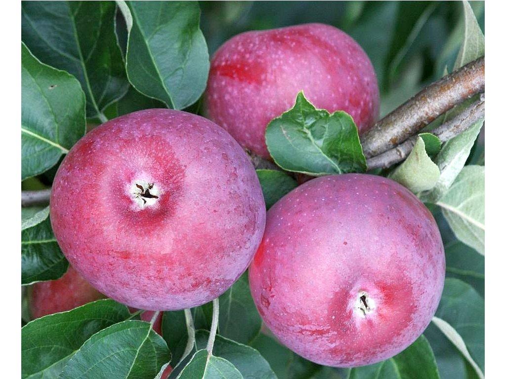 SPARTAN původní pozdně zimní jabloň 1