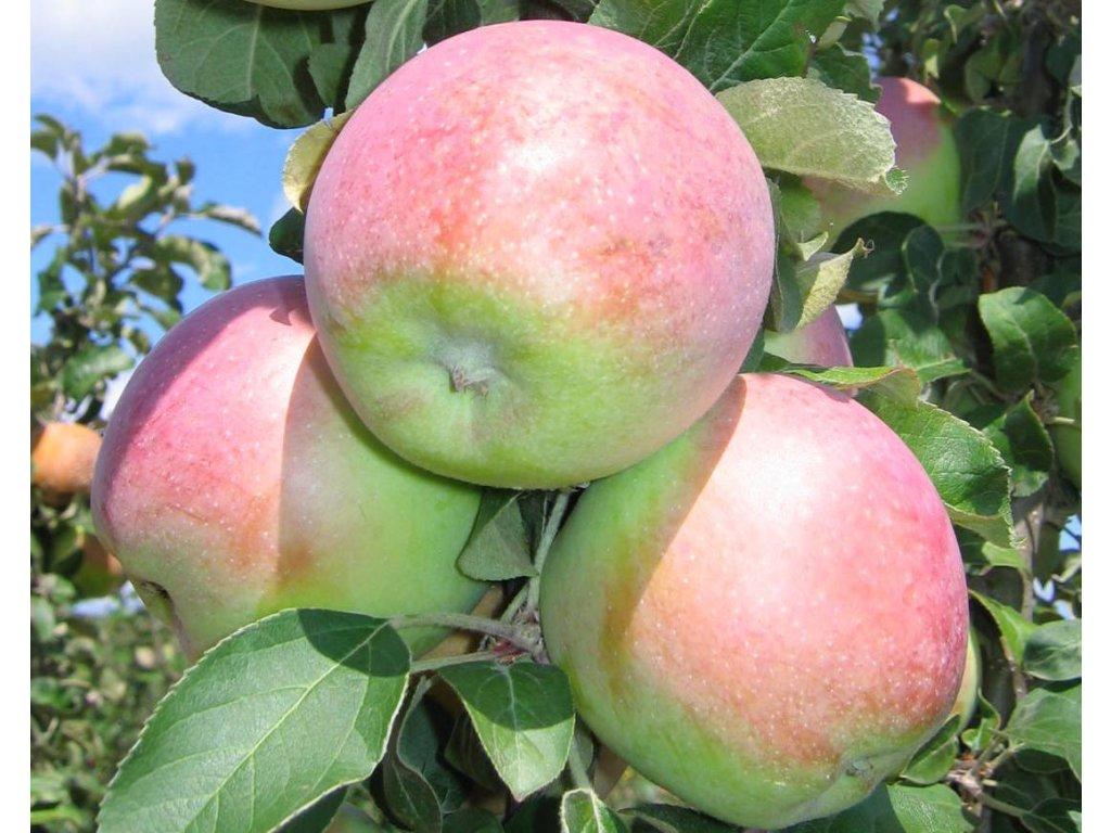 KORDONA sloupovitá zimní jabloň