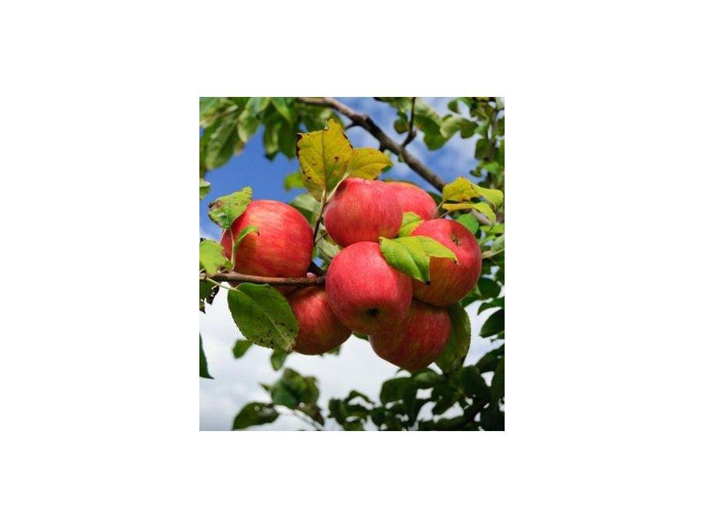 JAKUBKY ČER VENÉ původní letní jabloň, podnož M26, zákrsek, prostokořenná sazenice