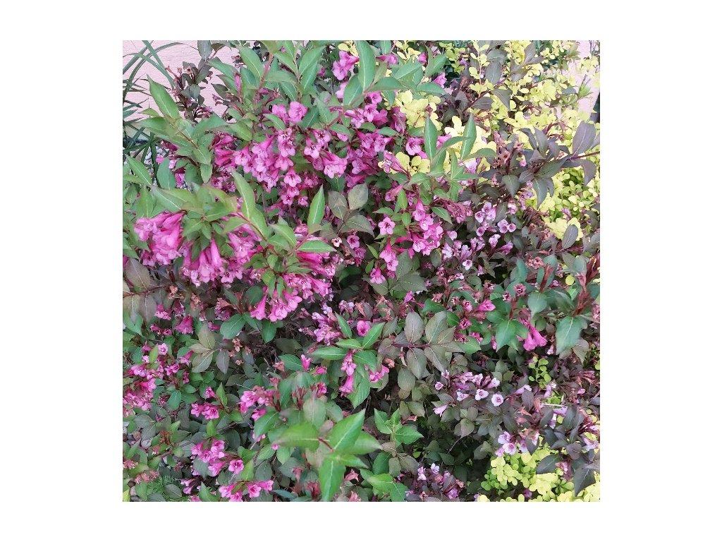 weigela florida purpurea 1