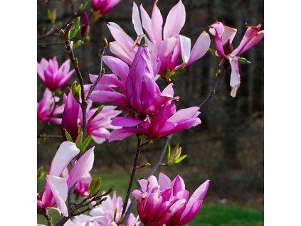magnolia betty web