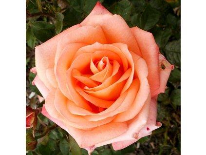 Die Welt růže velkokvětá