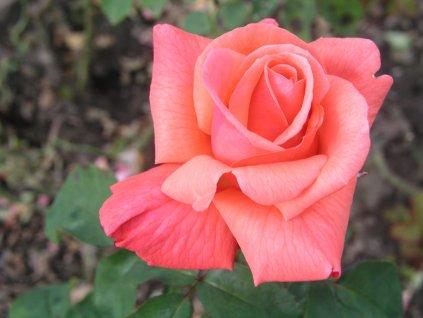 Agena velkokvětá růže