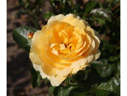 HARVELINA mnohokvětá růže
