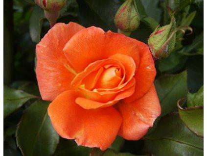 Wobrun abbey mnohokvětá růže 1