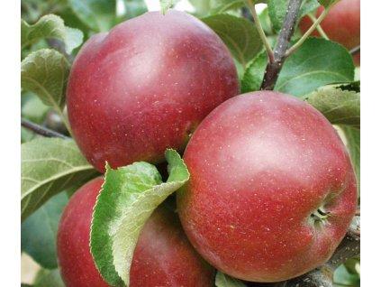 KARMÍNA zimní jabloň