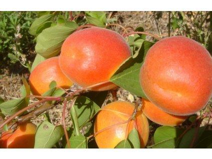 PINKCOT velmi raná meruňka 2
