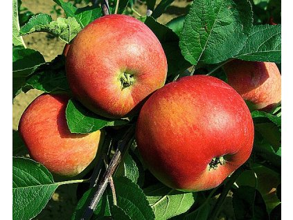 PIDI sloupovitá podzimní jabloň