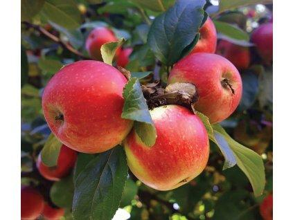 JONATHNAN původní pozdně zimní jabloň