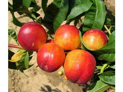 HARKO středně raná nektarinka 1