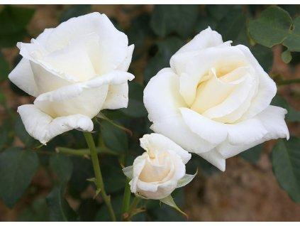 MOUNT SHANTA velkokvětá růže