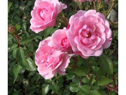 ROSMARIN mnohokvětá růže