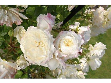 ALASKA pnoucí růže
