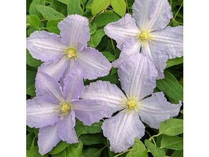 bosrank clematis beauty of worcester 34972 c02