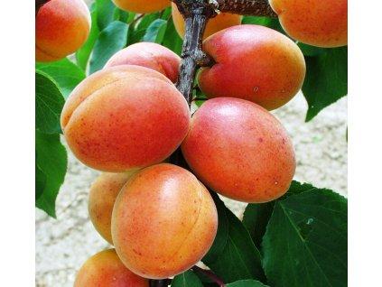 LESKORA velmi raná meruňka 1