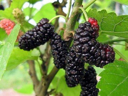 Moruše černá black mulberry sized grande
