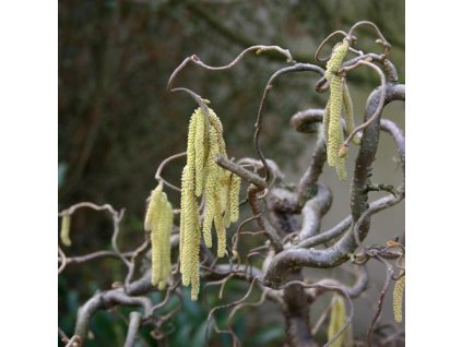 Corylus avellana 1