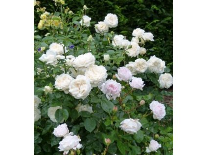 Pokryvná keřová růže 'Sea Foam', bílá, výška 20-30 cm, kontejner