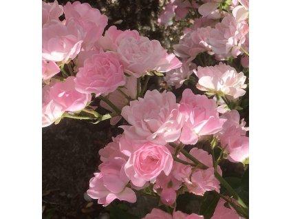 Pokryvná keřová růže miniature Pink, růžová, výška 20-30cm, kontejner