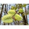 Vrba mechová x jíva kříženec Salix Caprea x Salix muscina
