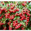 Vaccinium vitis idaea Red Pearl 01