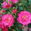 MAINTRAUM pokryvná růže