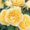 ŽLUTÁ ANGLICKÁ anglická růže