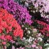 azalea japonica collection750x750