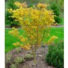 Acer palmatum Orange Dream 3