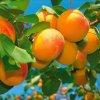 Harlayne pozdní meruňka 2