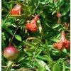 1 Punica garanatum nana