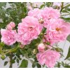 rosa the fairy 1