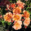 jazz květ