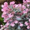 andromeda květ