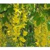 Laburnum x watereri Vossii Golden Chain Tree3