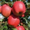 GALA zimní jabloň, podnož M26, zákrsek, kontejner