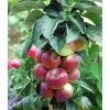 FLAMENCO sloupovitá raně zimní odrůda
