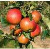 HERALD sloupovitá zimní jabloň 2