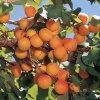 EARLY ORANGE raná meruňka
