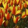 tulipa ano