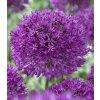 allium purple sensation 1