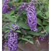 Buddleja Dreaming Lavender2