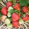 Strawberry Honeoye 01