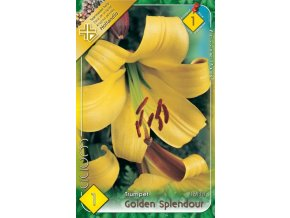 Lilium Golden Splendour