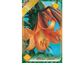 Lilium African Queen