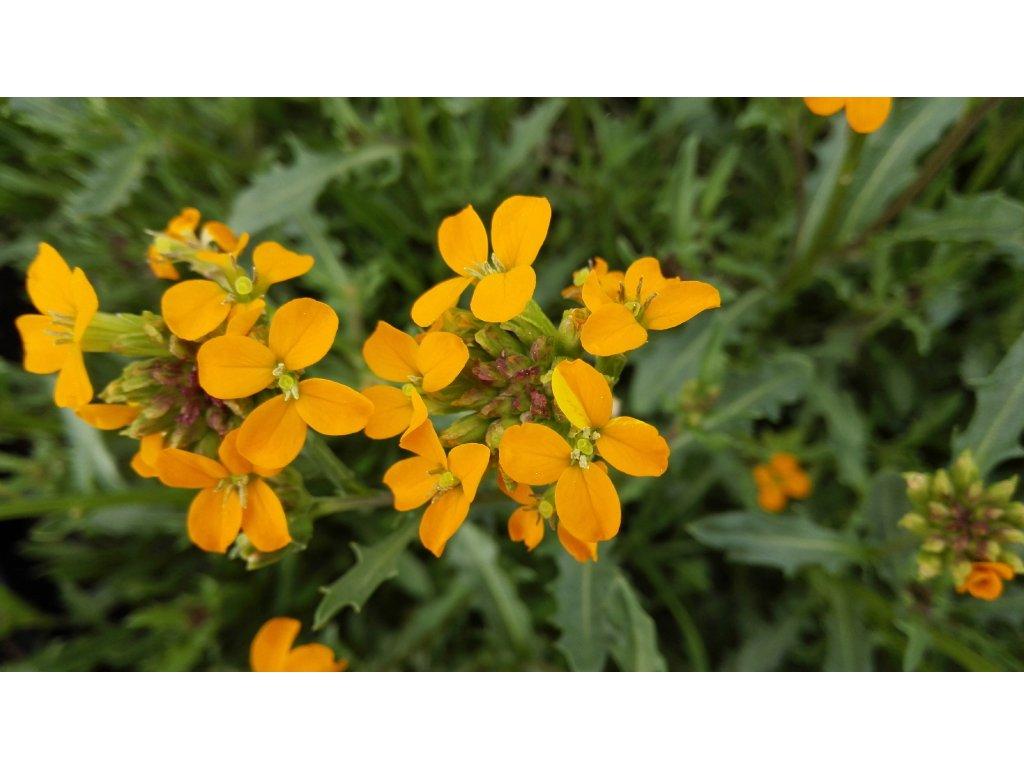 Erysimum Orange Flame – Trýzel