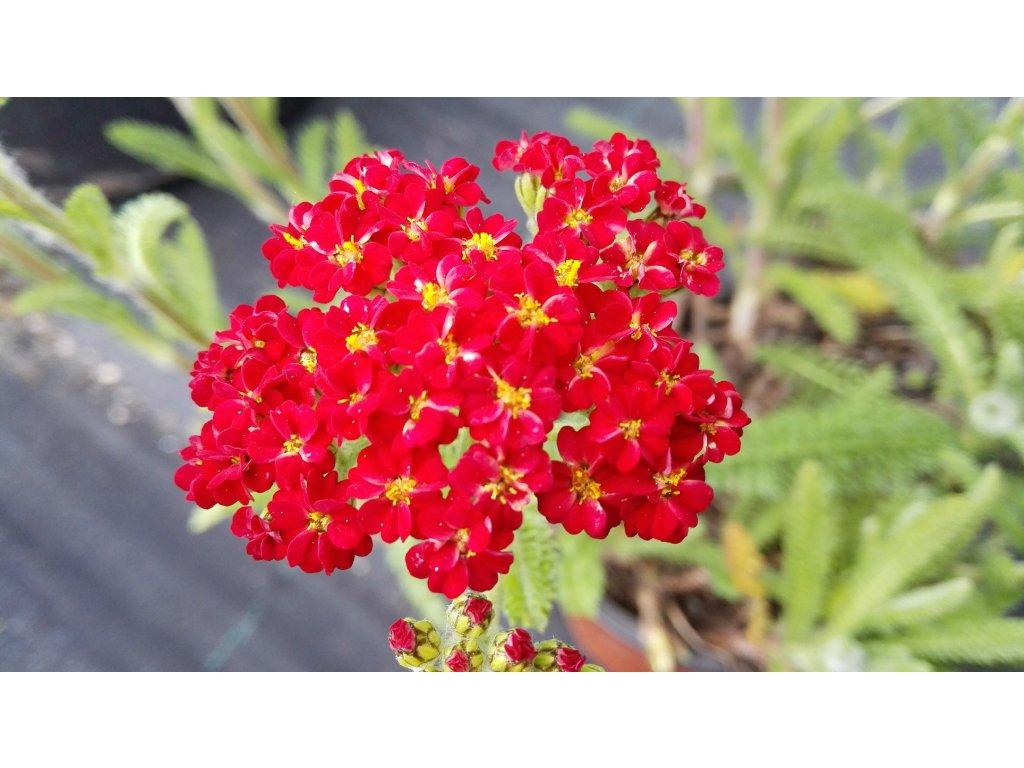 Achillea Millefolium Desert Eve Red – Žebříček