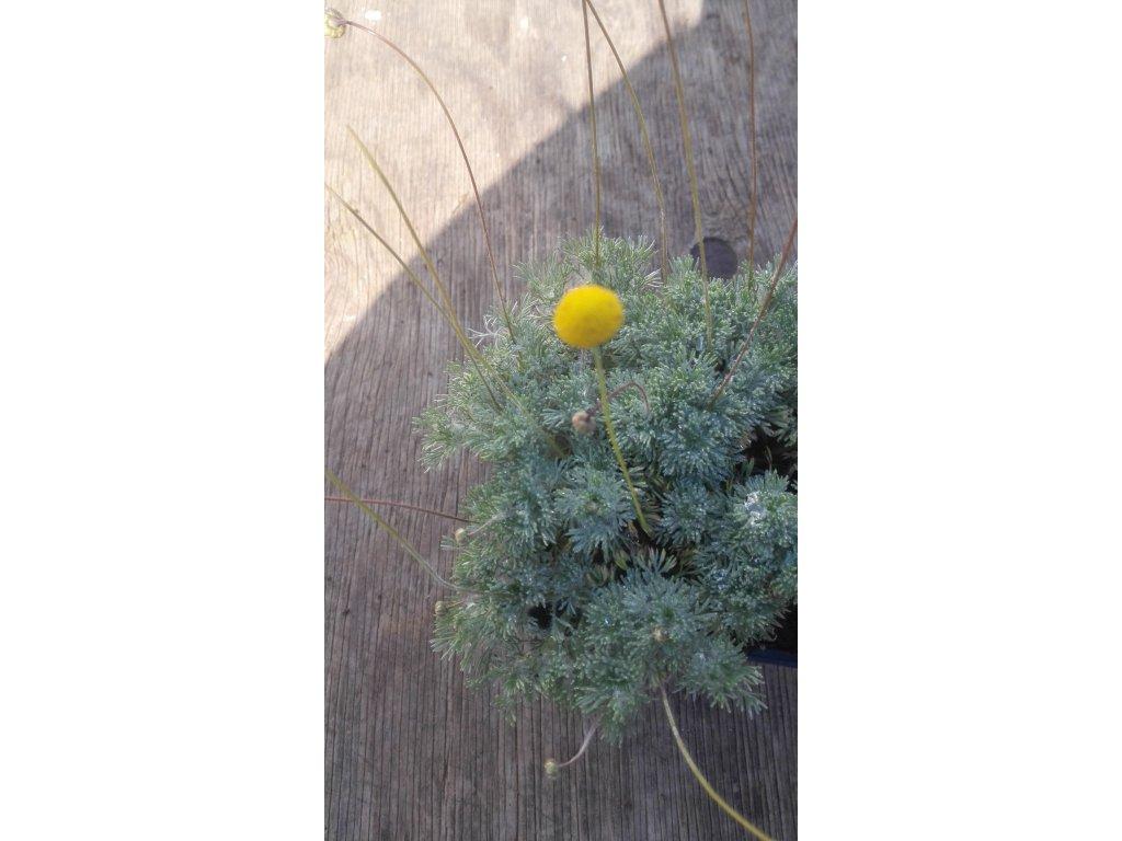 Cotula Hispida Silver – Mechovec